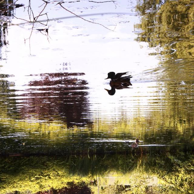 Teichlandschaft mit Ente steht kopf - Wohnzimmerkonzerte